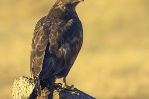 Common Buzzard buteo