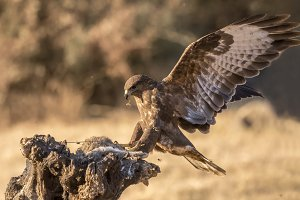 Common Buzzard, buteo