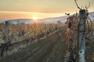Vineyards on sunrise. Autumn vineyar
