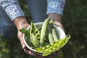 Harvest pea plants in a garden