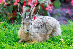 European Hare in Alert