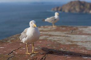 Seagulls in Cies Islands.