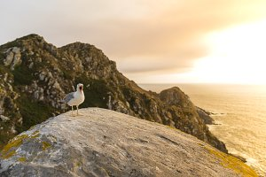 Seagull at sunset in Cies Islands.