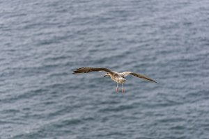Seagull flying,