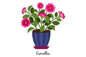 Camellia plant in pot