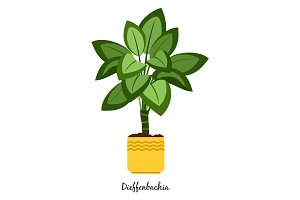 Dieffenbachia plant in pot
