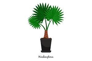 Washingtonia plant in pot