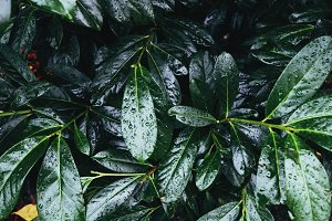 Rhododendron green leaves after rain