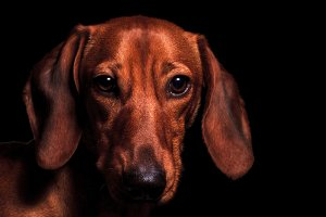 red dog portrait of the year 2018 symbol
