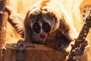 The beautiful slow loris