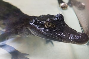 Beautiful caiman crocodile