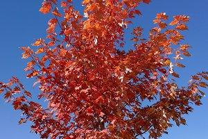 Red maple on a radiant blue sky