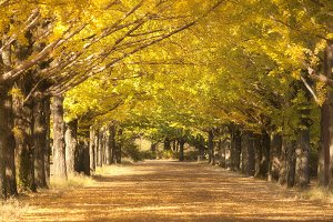 Yellow ginkgo trees in park