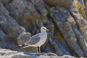 Seagull in Cies Islands.