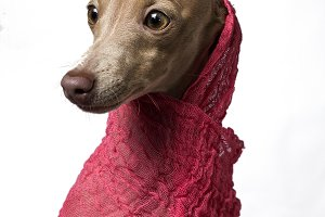 Greyhound dog piccolo Italian