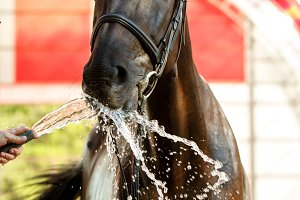 Jockey drinks horse with water