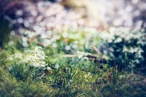 Marvelous springtime with snowdrops