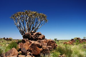 Quiver tree or kokerboom forest