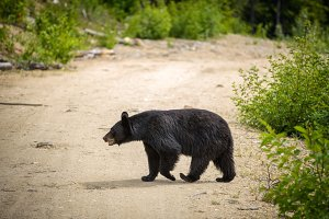 Black Bear crossing a road in forests of Banff National Park, Canada
