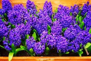Blue hyacinth flowers
