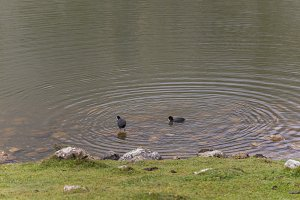 Ducks in Lakes of Covadonga.