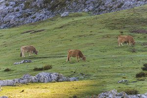 Asturian beef in Covadonga meadows.