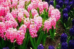 blue hyacinth flowerbed