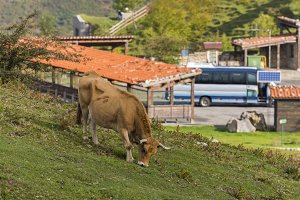 Asturian beef in Covadonga.