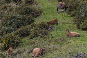 Asturian beef.