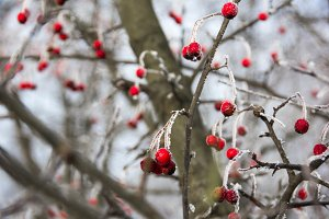 wild apples covered with hoarfrost