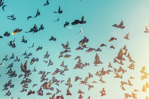 Flock of Black Pigeons Fly In A Blue Sky. Freedom Destination Travel Concept