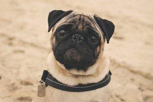 Funny pug portrait