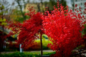 Red leaf tree in autumn