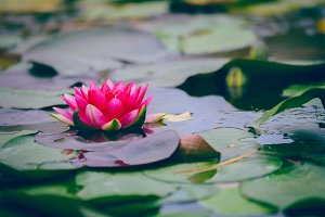 Water lily on the water surface