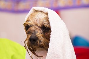 dog with towel