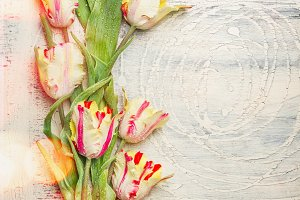 Fresh tulips on light shabby chic