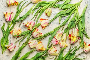 Scattered fresh pretty tulips