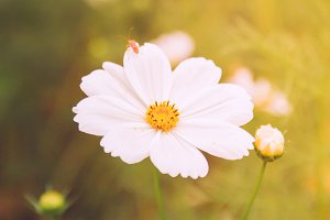 white cosmos flowers, vintage style