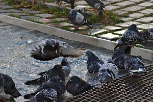 Pigeons bathers in the water
