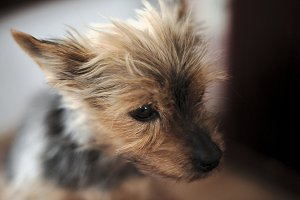 Detail of the head Yorkie