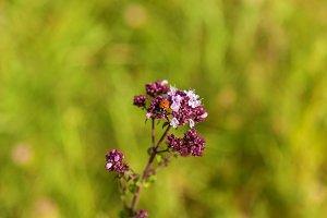 ladybird on a violet flower
