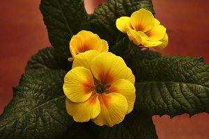 Detail flowering yellow primroses