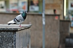 Pigeon sitting on a gray parapet