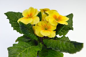 Blooming yellow primrose