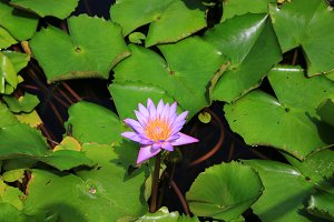 Water lily, Nymphaea alba