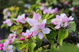 Apple flowers with background