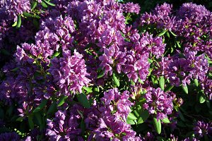 Flowering purple rhododendron