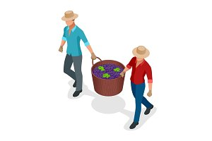 Isometric workers harvesting grapes during the wine harvest. Blue wine grapes in wicker baskets. Isolated object in flat design on white background. Vector illustration.