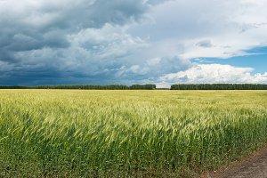 Panorama of wheat field