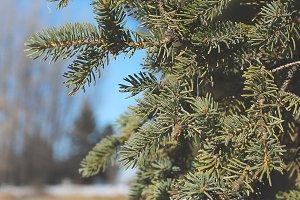 Spruce Branch 1